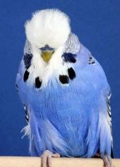 best-novice-young-bird_a-jennings