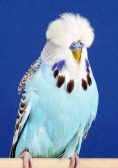 best-opp-sex-young-bird-in-show_moorhouse-spruce
