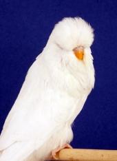 cc-albino-aa_dg-bowley