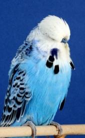 cc-opaline-blue-aa_moorhouse-spruce