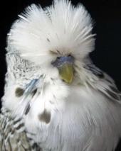 Cinn Grey Cock 0086_1