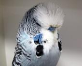 Grey, Cock 046