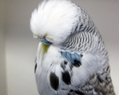 Cinn Grey Cock 068