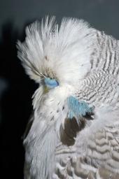 Cinn Grey Cock 1_017