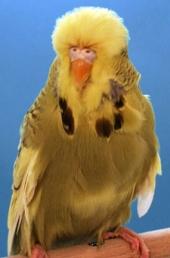 Best in Show & Best Young Bird<br />ZG Giger & Waser