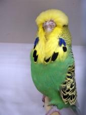 Best Young Bird Opposite Sex - G Ludlow