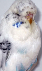 Recessive Pied opaline blue cock