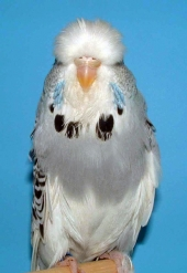 Best Young Bird Opposite Sex - ZG Henke