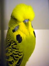 BIS & Best Young Bird - Hans-Jørgen Mathisen