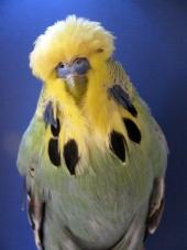 Best Young Bird in Show - Karl Eben