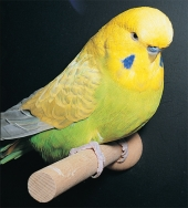 English Yellow-wing