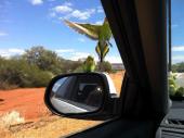 Australian Wild Budgerigars