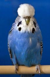 Best Young Bird in Show - Stuart Sacks