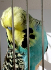 Australian yellowface blue cock