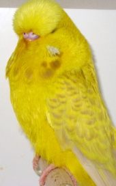 Lacewing yellow cock