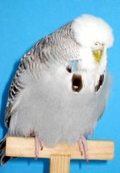 Normal grey hen