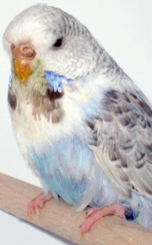 Recessive pied Opaline Cinnamon blue hen