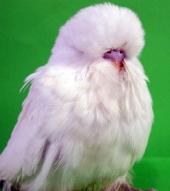 fb08-baby-hen-df-white-2011