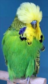 fb12-lightgreen-cock-2009
