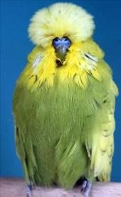 fb14-spangle-greygreen-cock-2010