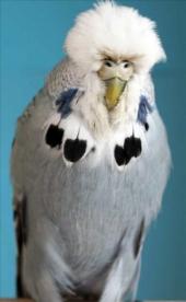 fb15-grey hen-2010