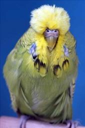 fb16-spangle-greygreen-hen-2010