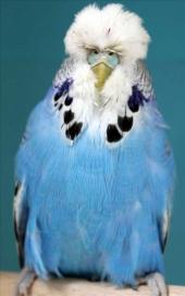 fb17-cobalt-hen-2010