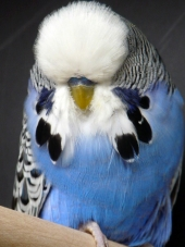 Best Young Bird in Show - Quigley & Wilson