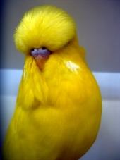 Lutino Cock, Colour Champion