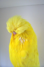 Lutino Cock, never shown