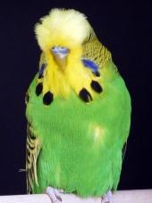 Best Young Bird in Show - Roy Wilson