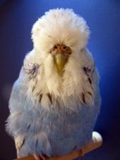 Best Young Bird Opposite Sex - Mario Bizour