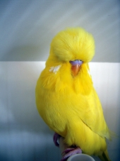 Young Bird Lutino – Ian Fordham