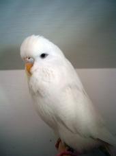 Young Bird Albino - M & M Chapman