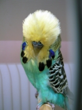 Young Bird Yellowface – Jerry Donovan