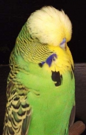 South African National 2011 CC Winner Light Green cock