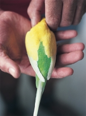 Australian Yellow-wing